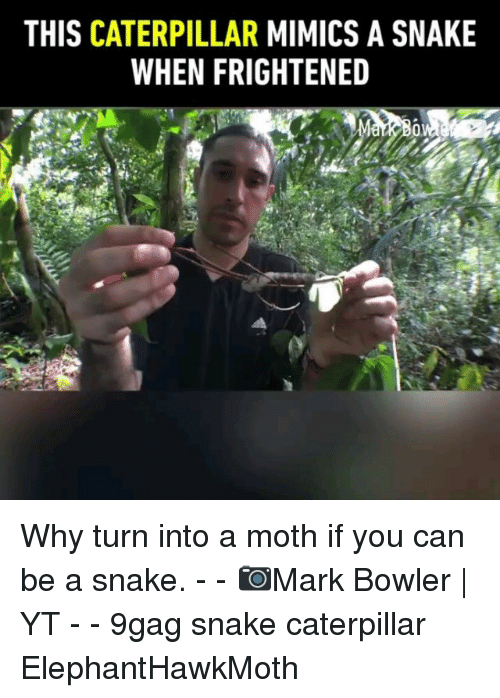 9gag, Memes, and Snake: THIS CATERPILLAR MIMICS A SNAKE  WHEN FRIGHTENED Why turn into a moth if you can be a snake. - - 📷Mark Bowler   YT - - 9gag snake caterpillar ElephantHawkMoth