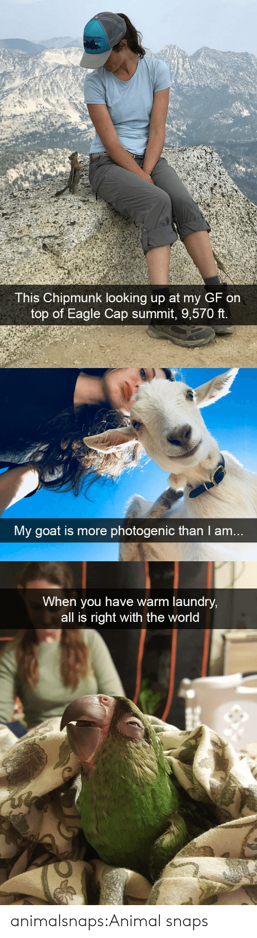 Laundry, Target, and Tumblr: This Chipmunk looking up at my GF on  top of Eagle Cap summit, 9,570 ft.   My goat is more photogenic than I am..   When you have warm laundry,  all is right with the world animalsnaps:Animal snaps
