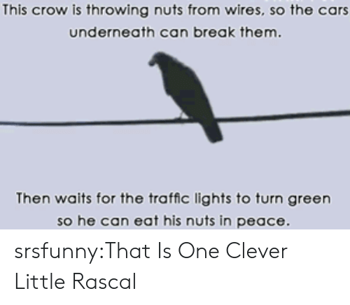 Cars, Traffic, and Tumblr: This crow is throwing nuts from wires, so the cars  underneath can break them.  Then waits for the traffic lights to turn green  so he can eat his nuts in peace srsfunny:That Is One Clever Little Rascal