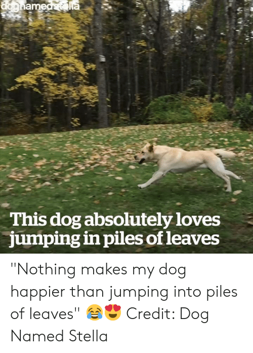 "Dog, Stella, and Piles: This dog absolutely loves  jumping in piles of leaves ""Nothing makes my dog happier than jumping into piles of leaves"" 😂😍  Credit: Dog Named Stella"