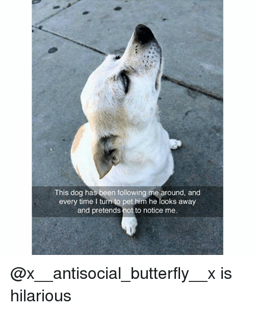Funny, Dog, and Pet: This dog has been following me around, and  every time I turn to pet him he looks away  and pretends not to notice me. @x__antisocial_butterfly__x is hilarious