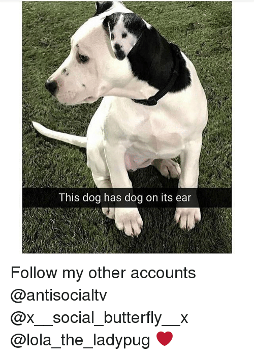 Memes, Butterfly, and 🤖: This dog has dog on its ear Follow my other accounts @antisocialtv @x__social_butterfly__x @lola_the_ladypug ❤️