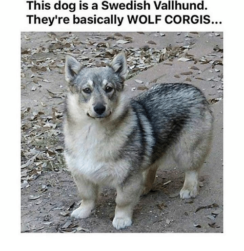 Wolf, Humans of Tumblr, and Swedish: This dog is a Swedish Vallhund.  They're basically WOLF CORGIS...