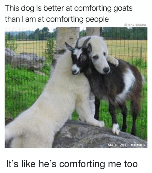 this dog is better at comforting goats than i am 31412682 ✅ 25 best memes about goats goats memes