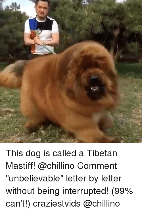 This Dog Is Called A Tibetan Mastiff Comment Unbelievable Letter By