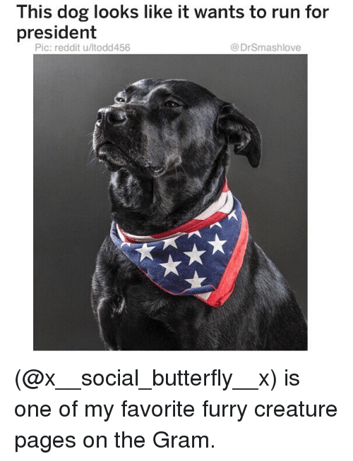 Memes, Reddit, and Run: This dog looks like it wants to run for  president  Pic: reddit u/ltodd456  @DrSmashlove (@x__social_butterfly__x) is one of my favorite furry creature pages on the Gram.
