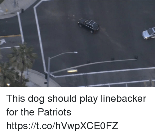 Patriotic, Tom Brady, and Dog: This dog should play linebacker for the Patriots https://t.co/hVwpXCE0FZ