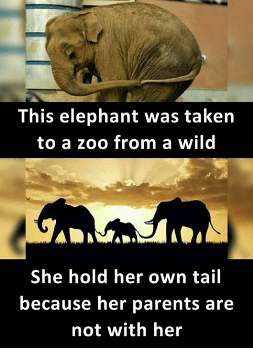 Memes, Parents, and Taken: This elephant was taken  to a zoo from a wild  She hold her own tail  because her parents are  not with her
