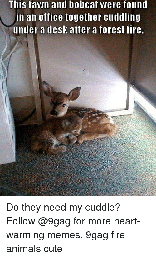 this fawn and bobcat were found in an office together 29777278 ✅ 25 best memes about bobcat bobcat memes