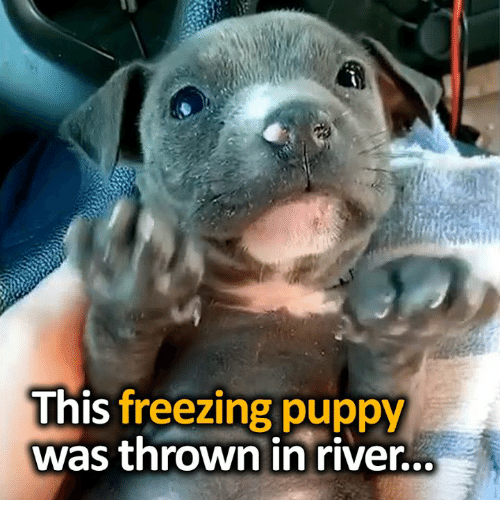 Memes, Puppy, and 🤖: This freezing puppy  was thrown in river..