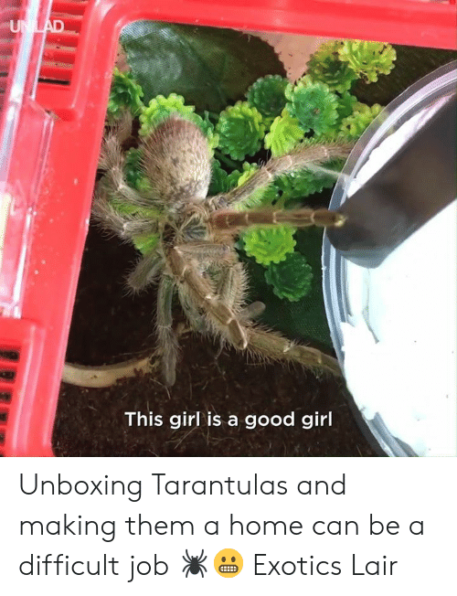 Dank, Girl, and Good: This girl is a good girl Unboxing Tarantulas and making them a home can be a difficult job 🕷😬  Exotics Lair