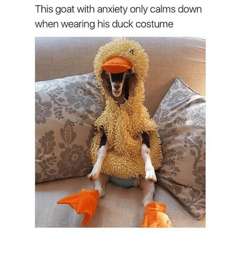 Best Memes About Goat Puns Goat Puns Memes - Rescue goat suffers anxiety calms duck costume