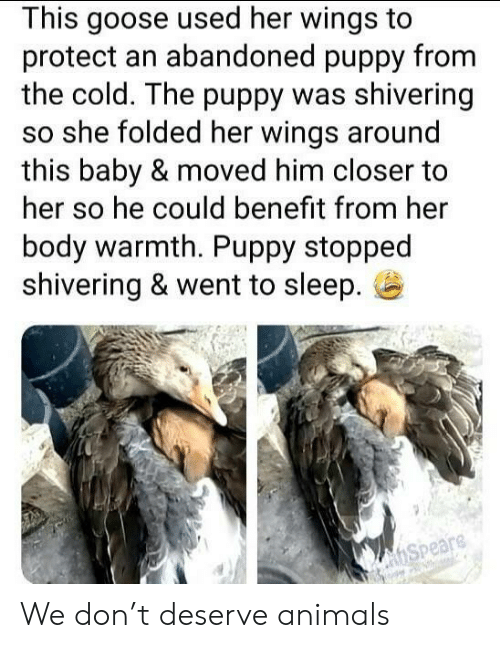 Animals, Puppy, and Wings: This goose used her wings to  protect an abandoned puppy from  the cold. The puppy was shivering  so she folded her wings around  this baby & moved him closer to  her so he could benefit from her  body warmth. Puppy stopped  shivering & went to sleep.  hSpeare We don't deserve animals