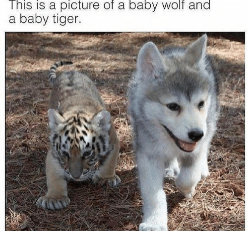 this is a picture of a baby wolf and a baby tiger tiger meme on