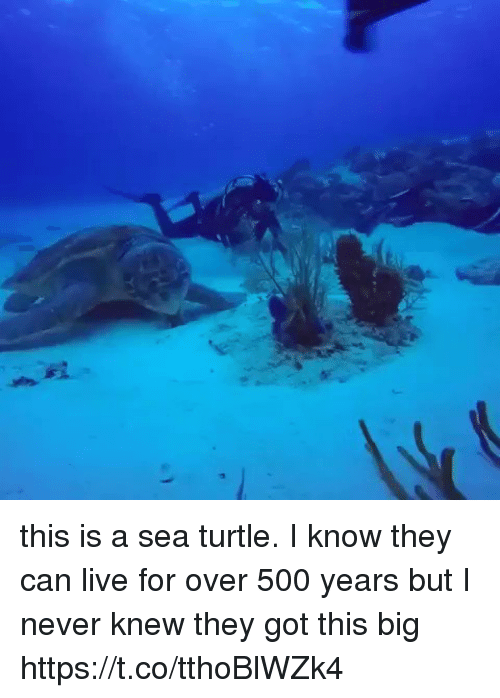 Live, Turtle, and Girl Memes: this is a sea turtle. I know they can live for over 500 years but I never knew they got this big  https://t.co/tthoBlWZk4