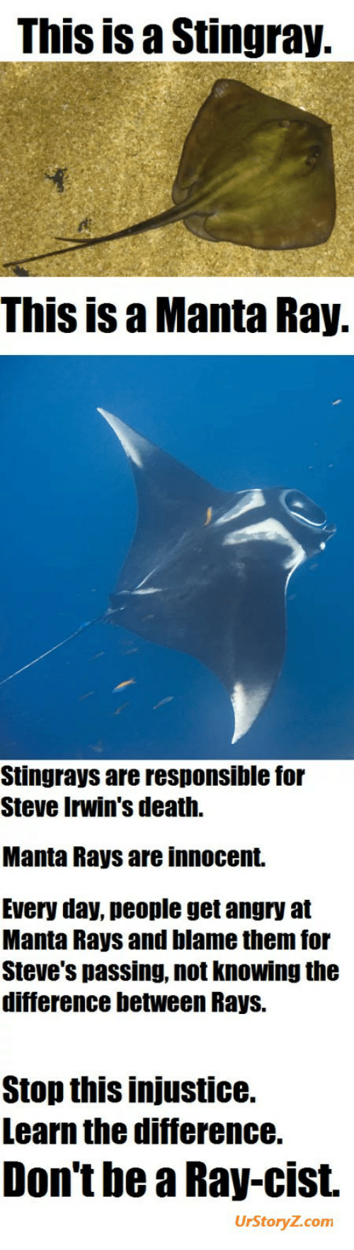 Death, Angry, and Com: This is a Stingray.  This is a Manta Ray.  Stingrays are responsible for  Steve Irwin's death.  Manta Rays are innocent.  Every day, people get angry at  Manta Rays and blame them for  Steve's passing, not knowing the  difference between Rays.  Stop this injustice.  Learn the difference.  Don't be a Ray-cist.  UrStoryZ.com