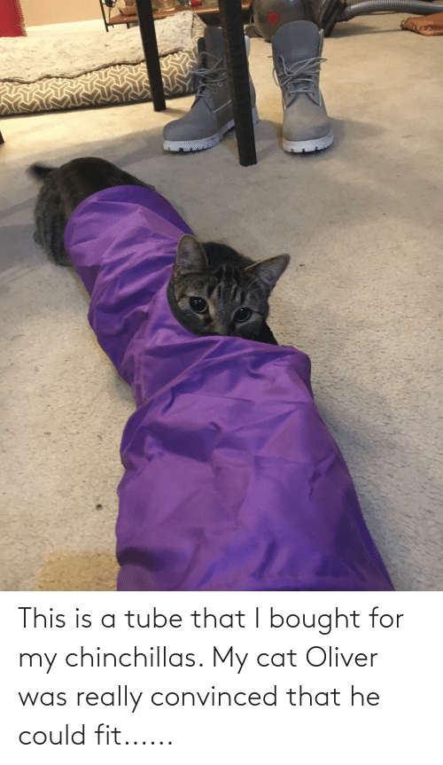 Tube, Cat, and Fit: This is a tube that I bought for my chinchillas. My cat Oliver was really convinced that he could fit......