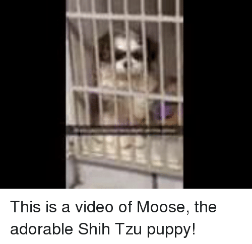 This Is A Video Of Moose The Adorable Shih Tzu Puppy Meme On Meme