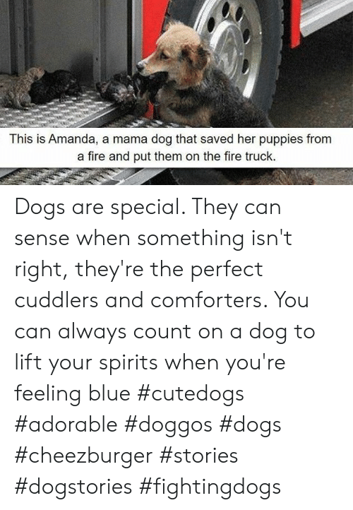 Dogs, Fire, and Puppies: This is Amanda, a mama dog that saved her puppies from  a fire and put them on the fire truck. Dogs are special. They can sense when something isn't right, they're the perfect cuddlers and comforters. You can always count on a dog to lift your spirits when you're feeling blue #cutedogs #adorable #doggos #dogs #cheezburger #stories #dogstories #fightingdogs