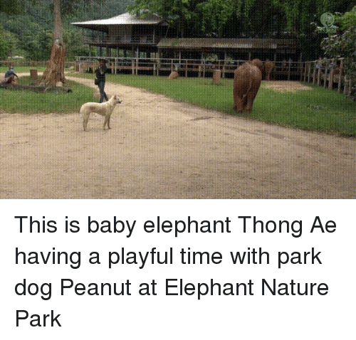 Elephant, Nature, and Time: This is baby elephant Thong Ae having a playful time with park dog Peanut at Elephant Nature Park