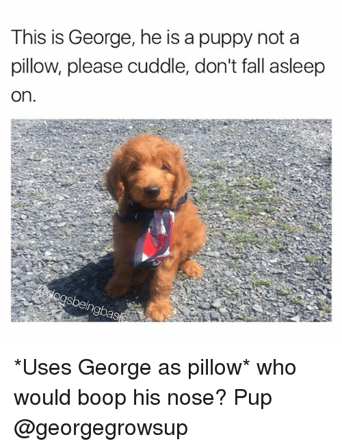 Fall, Memes, and Puppy: This is George, he is a puppy not a  pillow, please cuddle, don't fall asleep  on.  ngba *Uses George as pillow* who would boop his nose? Pup @georgegrowsup