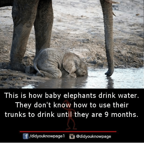 Memes, Trunks, and How To: This is how baby elephants drink water.  They don't know how to use their  trunks to drink until they are 9 months.  /didyouknowpagel didyouknowpage