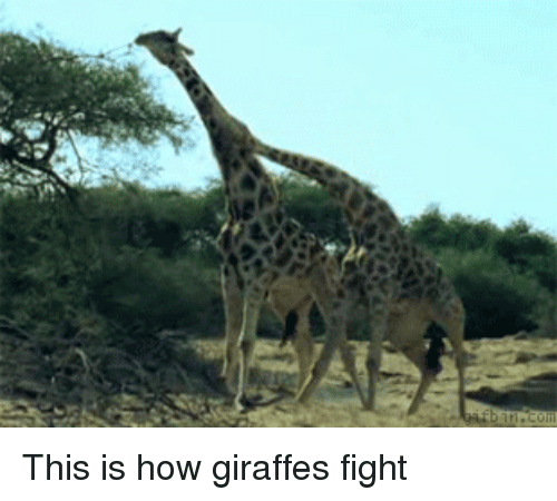 this is how giraffes fight 11714500 ✅ 25 best memes about giraffe fight giraffe fight memes,Giraffe Meme