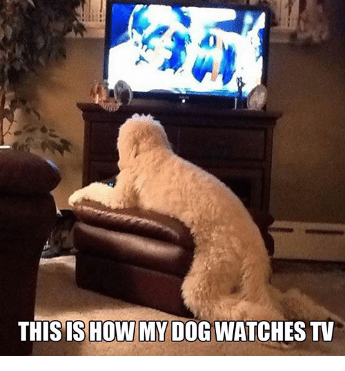 This Is How My Dog Watches Tv Meme On Meme