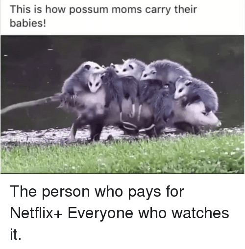This Is How Possum Moms Carry Their Babies! The Person Who ...