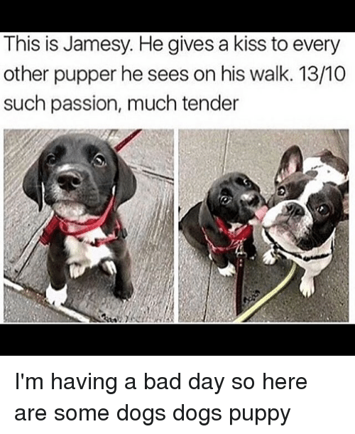 Bad, Bad Day, and Dogs: This is Jamesy. He gives a kiss to every  other pupper he sees on his walk. 13/10  such passion, much tender I'm having a bad day so here are some dogs dogs puppy