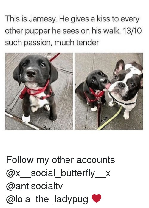 Memes, Butterfly, and Kiss: This is Jamesy. He gives a kiss to every  other pupper he sees on his walk. 13/10  such passion, much tender Follow my other accounts @x__social_butterfly__x @antisocialtv @lola_the_ladypug ❤️