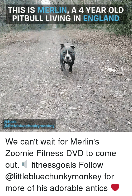 England, Memes, and Pitbull: THIS IS MERLIN, A 4 YEAR OLD  PITBULL LIVING IN ENGLAND  @bark  @littlebluechunkymonkey We can't wait for Merlin's Zoomie Fitness DVD to come out.🔈 fitnessgoals Follow @littlebluechunkymonkey for more of his adorable antics ❤️