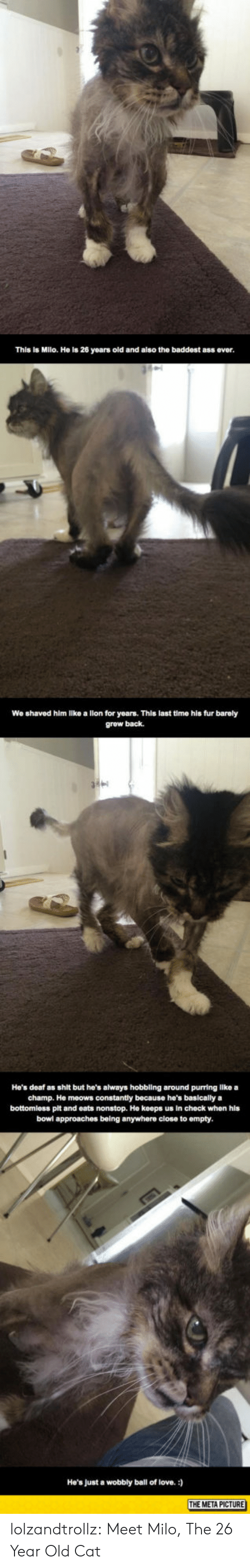 Ass, Love, and Shit: This is Milo. He is 26 years old and also the baddost ass ever  We shaved him like a lion for years. This last time his fur barely  grew back.  He's deaf as shit but he's always hobbling around purring llke a  champ. He meows constantly because he's basically a  bottomless pit and eats nonstop. He keeps us in check when his  bowl approaches being anywhere close to empty  He's Just a wobbly ball of love.  THE META PICTURE lolzandtrollz:  Meet Milo, The 26 Year Old Cat