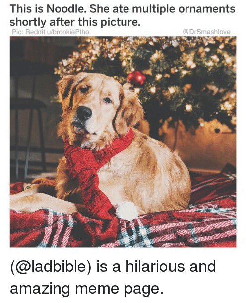 Meme, Memes, and Reddit: This is Noodle. She ate multiple ornaments  shortly after this picture  Pic: Reddit u/brookiePtho  @DrSmashlove (@ladbible) is a hilarious and amazing meme page.