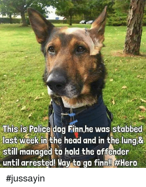 Dank, Finn, and Head: This is Police dog Finn,he was stabbed  last week in the head and in the lung &  still managed to hold the offender  until arrested! Way to go finn!! Hero #jussayin