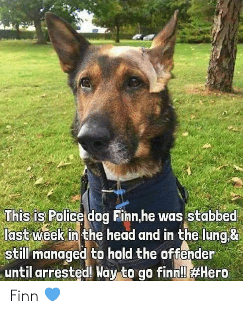 Finn, Head, and Memes: This is Police dog Finn,he was Stabbed  last week in the head and in the lung&  still managed to hold the offender  until arrested! Way to go finn!l Finn 💙