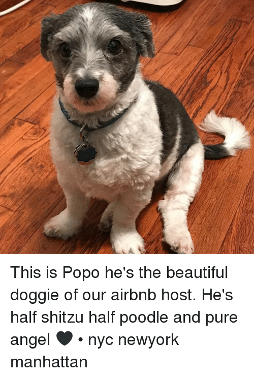 Beautiful, Memes, and Airbnb: This is Popo he's the beautiful doggie of our airbnb host. He's half shitzu half poodle and pure angel 🖤 • nyc newyork manhattan