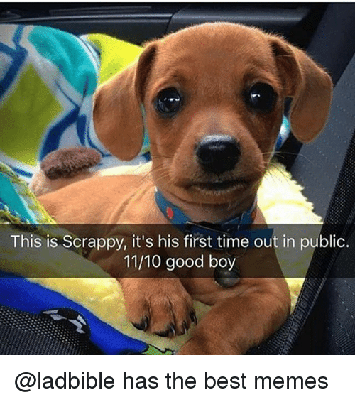 Funny, Memes, and Best: This is Scrappy, it's his first time out in public.  11/10 good boy @ladbible has the best memes