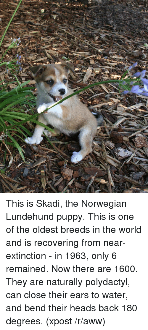 This Is Skadi The Norwegian Lundehund Puppy This Is One Of The