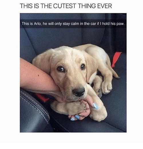 Memes, 🤖, and Car: THIS IS THE CUTEST THING EVER  This is Arlo, he will only stay calm in the car if I hold his paw.