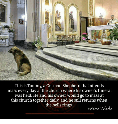 Memes, German Shepherd, and 🤖: This is Tommy, a German Shepherd that attends  mass every day at the church where his owner's funeral  was held. He and his owner would go to mass at  this church together daily, and he still returns when  the bells rings.  Weird World