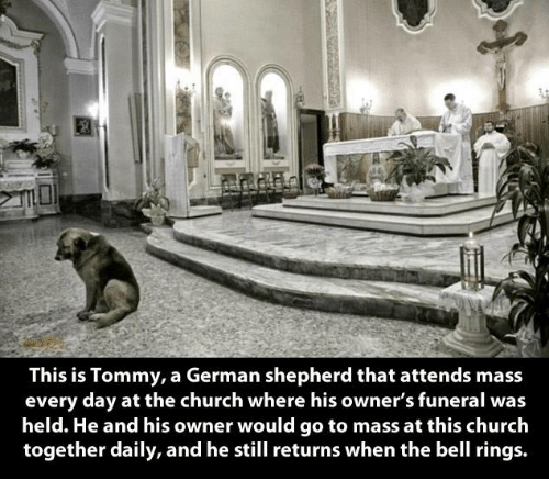 Church, Memes, and German Shepherd: This is Tommy, a German shepherd that attends mass  every day at the church where his owner's funeral was  held. He and his owner would go to mass at this church  together daily, and he still returns when the bell rings.