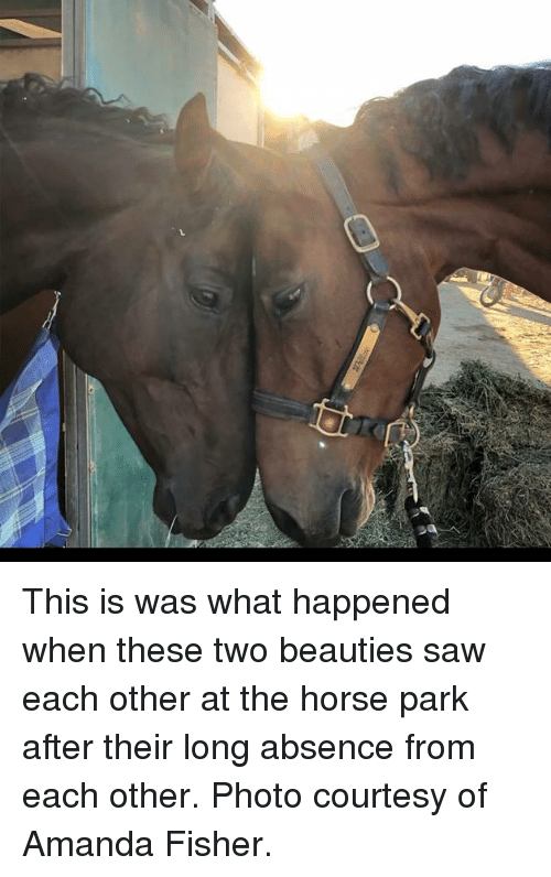 Memes, Saw, and Horse: This is was what happened when these two beauties saw each other at the horse park after their long absence from each other. Photo courtesy of Amanda Fisher.