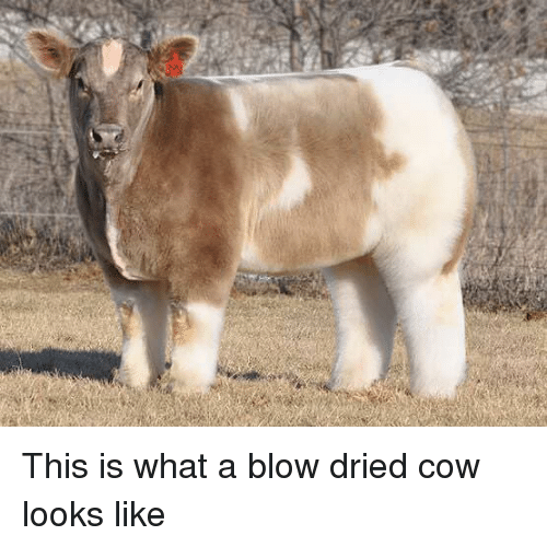 Cow, Blow, and What: This is what a blow dried cow looks like