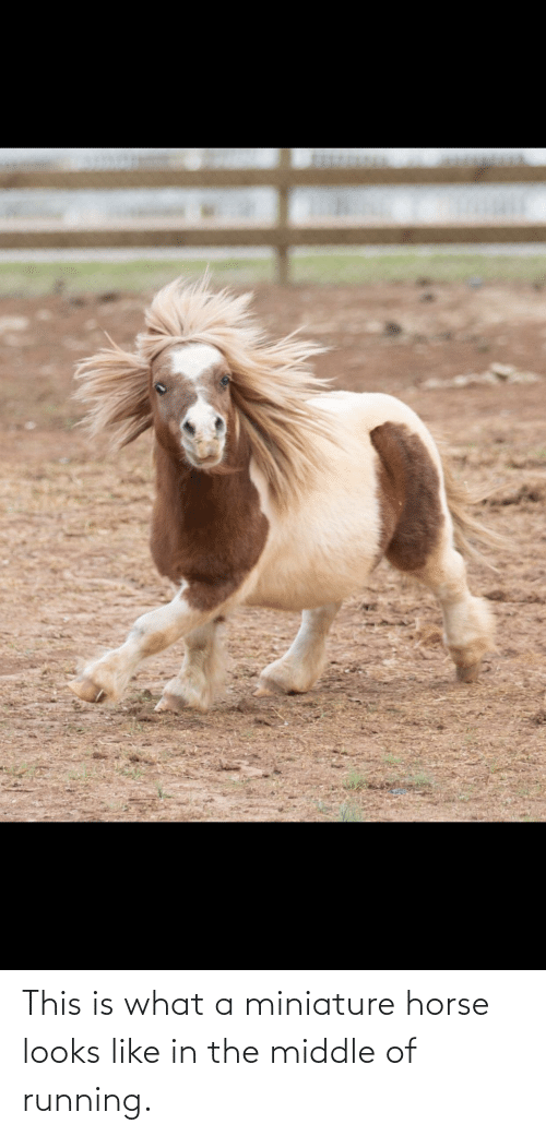 Horse, The Middle, and Running: This is what a miniature horse looks like in the middle of running.