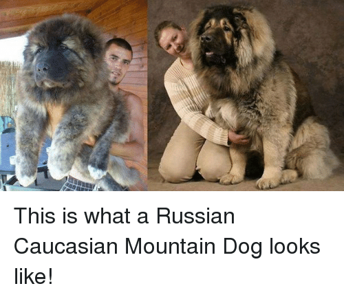 This Is What A Russian Caucasian Mountain Dog Looks Like