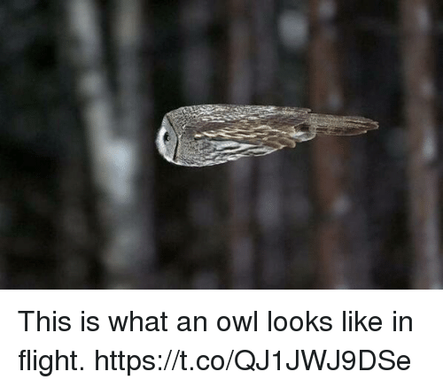 Memes, Flight, and 🤖: This is what an owl looks like in flight. https://t.co/QJ1JWJ9DSe