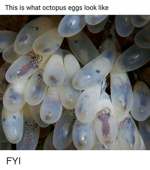 Memes, Octopus, and 🤖: This is what octopus eggs look like FYI