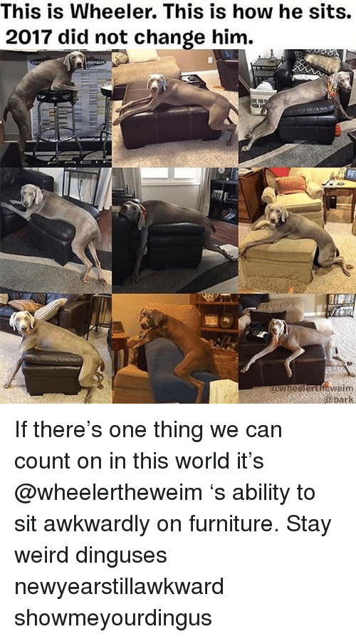 Memes, Weird, and Furniture: This is Wheeler. This is how he sits.  2017 did not change him.  bark If there's one thing we can count on in this world it's @wheelertheweim 's ability to sit awkwardly on furniture. Stay weird dinguses newyearstillawkward showmeyourdingus
