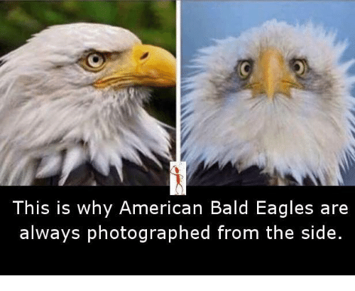 this is why american bald eagles are always photographed from 8413882 ✅ 25 best memes about bald eagles bald eagles memes